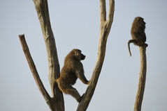 Baboons. Two baboons sitting on the trees, blue sky background Royalty Free Stock Photo
