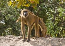 Baboons στοκ εικόνα