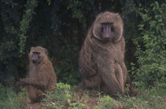 Baboons Royalty Free Stock Photos