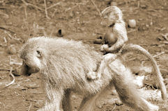 Baboons. Are African Old World monkeys belonging to the genus Papio, part of the subfamily Cercopithecinae.The re are five species, which are some of the Royalty Free Stock Photography