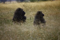 BABOONS 2 Royalty Free Stock Photos