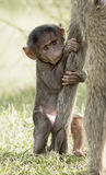 Baboons baby. Royalty Free Stock Image