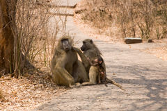 baboons behandla som ett barn Royaltyfri Fotografi