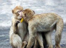 baboons behandla som ett barn kyssa två Royaltyfri Bild