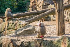 Baboons. In the Berlin zoo Royalty Free Stock Images