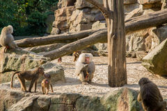 Baboons. In the Berlin zoo Stock Images