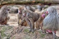 Baboons Royalty Free Stock Photos