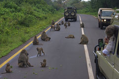 Baboons blocking traffic in Ngorogoro Crater Royalty Free Stock Photo