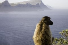 Baboons in cape point. South africa stock photos