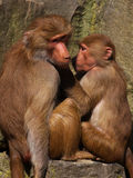 Baboons checking for Fleas. Sitting both on a rock Royalty Free Stock Photo