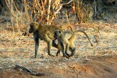 Baboons in Chobe National Park, Botswana Royalty Free Stock Photography