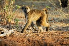 Baboons in Chobe National Park, Botswana Stock Image