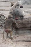 Baboons Cleaning Each Other Royalty Free Stock Image