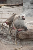 Baboons Cleaning Each Other Stock Photo