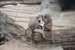 Baboons Cleaning Each Other Stock Photos
