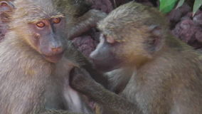 Baboons Couple cleaning. Couple of Baboons cleaning fleas each other in Serengeti National Park, Tanzania, Africa stock video