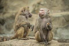 Baboons. A couple of baboons eating a carrot stock images
