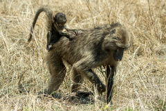 Baboons. A couple of baboons foraging Stock Photos