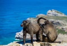 Baboons doing hygene stock images