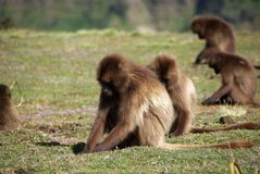Baboons, Ethiopia Royalty Free Stock Photo