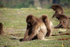 Baboons, Ethiopia royalty free stock photo