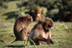 Baboons, Ethiopia Royalty Free Stock Photos