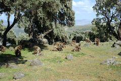 Baboons, Ethiopia Stock Photo