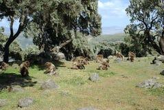 Baboons, Ethiopia Stock Photo