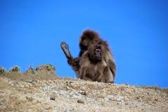 Baboons, Ethiopia royalty free stock image