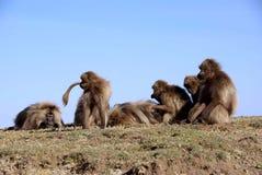 Baboons, Ethiopia royalty free stock photos