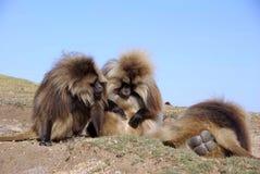 Baboons, Ethiopia Stock Image