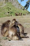 Baboons, Ethiopia royalty free stock photography