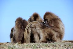 Baboons, Ethiopia royalty free stock images