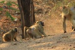 Baboons fighting Stock Photo