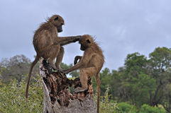 Baboons Grooming Royalty Free Stock Image