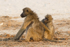 Baboons grooming each other. Baboons taking care of one another Stock Photography