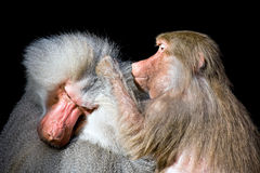 Baboons grooming isolated on black Royalty Free Stock Photo