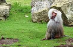 Baboons Hamadryas Στοκ Εικόνα