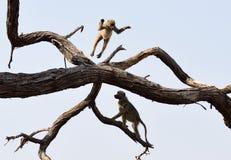 Baboons having fun Royalty Free Stock Image