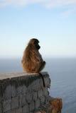 Baboons i uddpunkt royaltyfri foto
