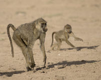 Baboons . Stock Photography