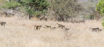 Baboons in Kruger Park South Africa Stock Photography