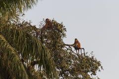 Baboons Stock Photos