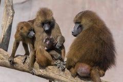 Baboons royalty free stock photo