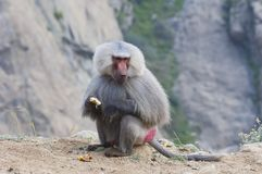 Baboons in The Mountains of South West Arabia royalty free stock images