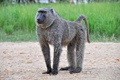 baboons πέφτουν murchison Ουγκάντα Στοκ Εικόνες