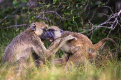 Baboons in the nature habitat of wild africa royalty free stock photography