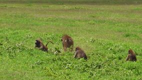 Baboons in Ngorongoro Crater