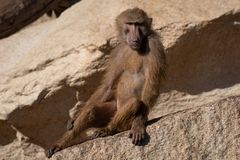 Baboons are Old World monkeys. Belonging to the genus Papio, part of the subfamily Cercopithecinae royalty free stock photos