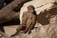 Baboons are Old World monkeys. Belonging to the genus Papio, part of the subfamily Cercopithecinae royalty free stock image